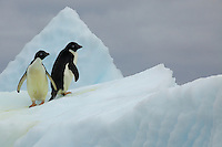 Adelie Penguins (Pygoscelis adeliae) on an iceberg.