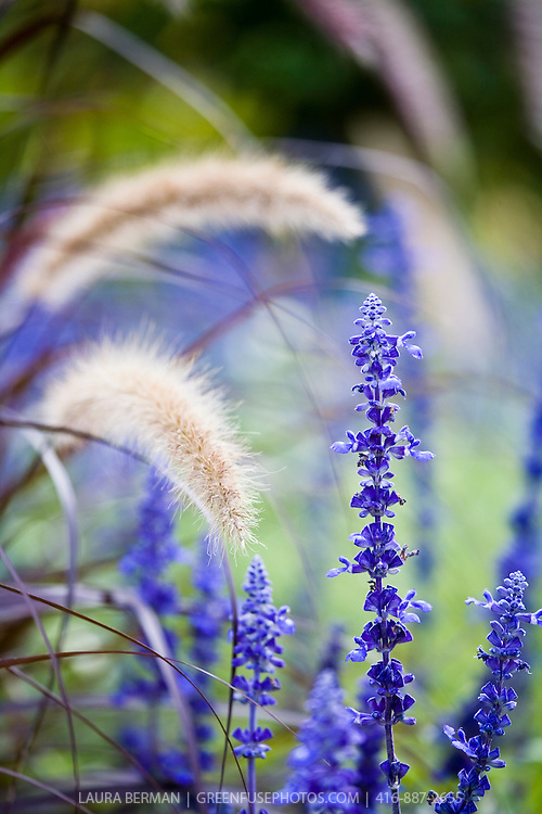 The wispy flowers of Hameln dwarf fountain grass form the background for the bright blue of annual salvia.