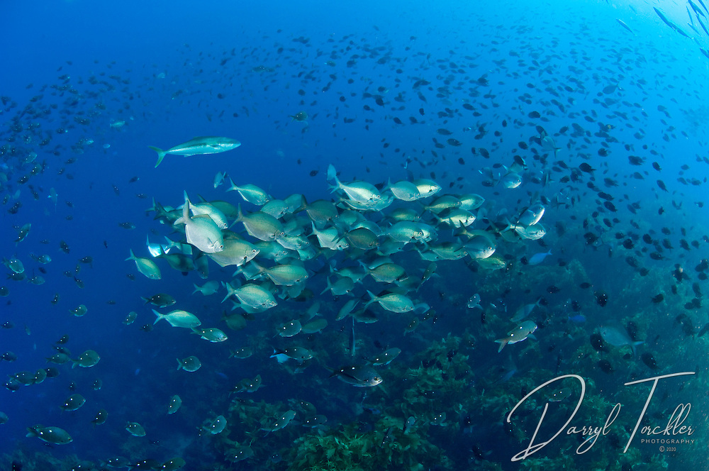 Dense schools of sweep fish amongst demoiselles and one lone kingfish off  Homestead reef. White Island. New Zealand