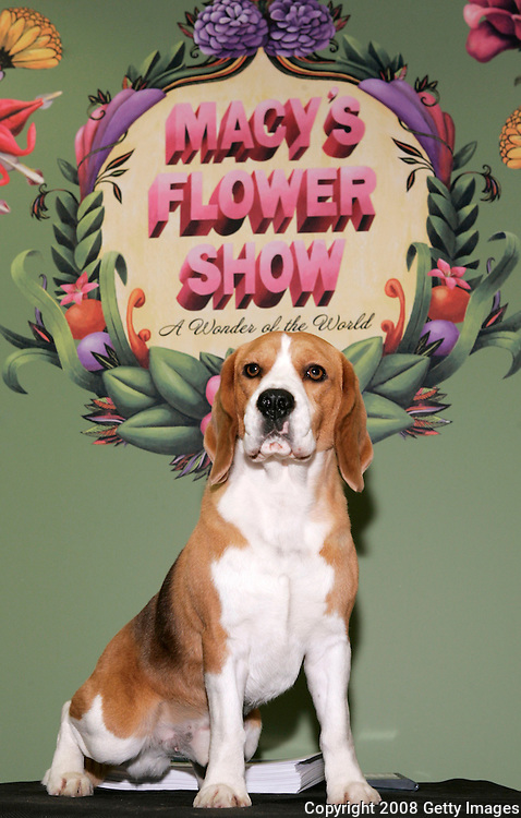 """NEW YORK - MARCH 16: """"Uno, Best in Show at the 132nd Westminster Kennel Club Dog Show"""" appears during the Macy's Flower Show in The Cellar of Macy's Herald Square on March 16, 2008 in New York City."""