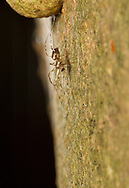 Drapetisca socialis. Constructs a highly unusual web appressed to the bark of a tree trunk. Careful scrutiny of this image shows the web which in life is effectively invisible, so much so  that for a long time it was thought that Drapeticsca did not build a web.