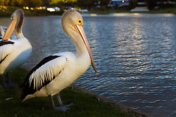 Australian Pelican (Pelecanus conspicillatus), on the banks of the Torrens River, Adelaide, South Australia, Australia