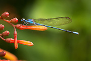 A Blue-colored Argia damselfly pauses its hunt to warm in the tropical sun.