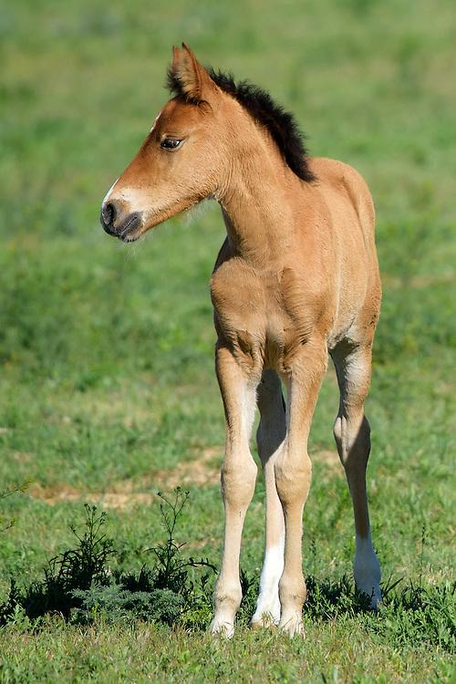 Foal, Black Hills Wild Horse Sanctuary, South Dakota