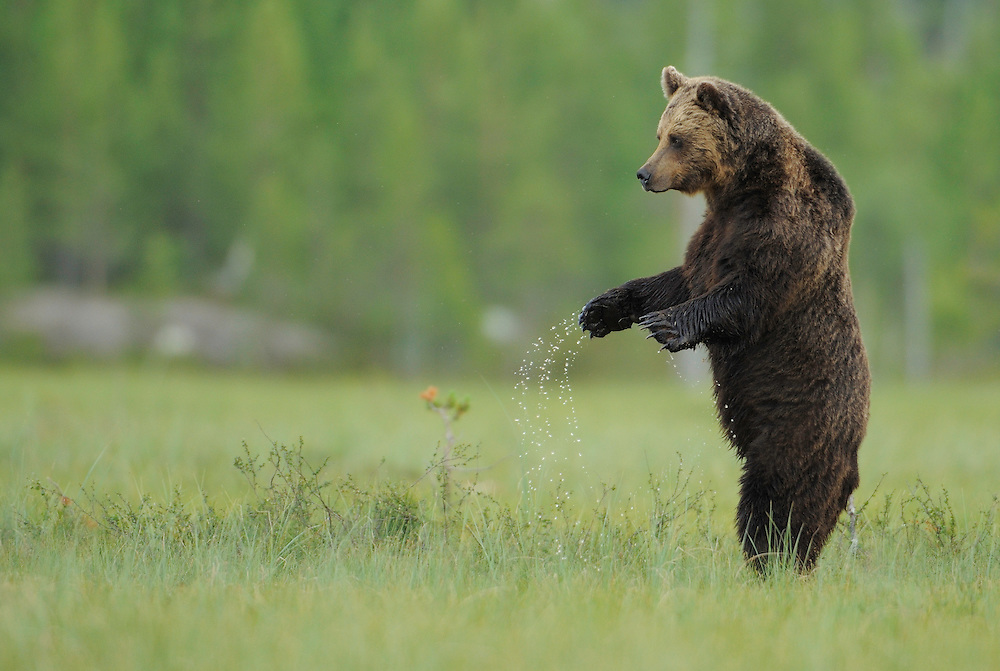 European Brown bear, Ursus arctos, Kuhmo Finland