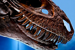Stock photo of a close up of a Gorgosaurus dinosaur head at the new Paleontology Hall at the Houston Museum of Natural Science