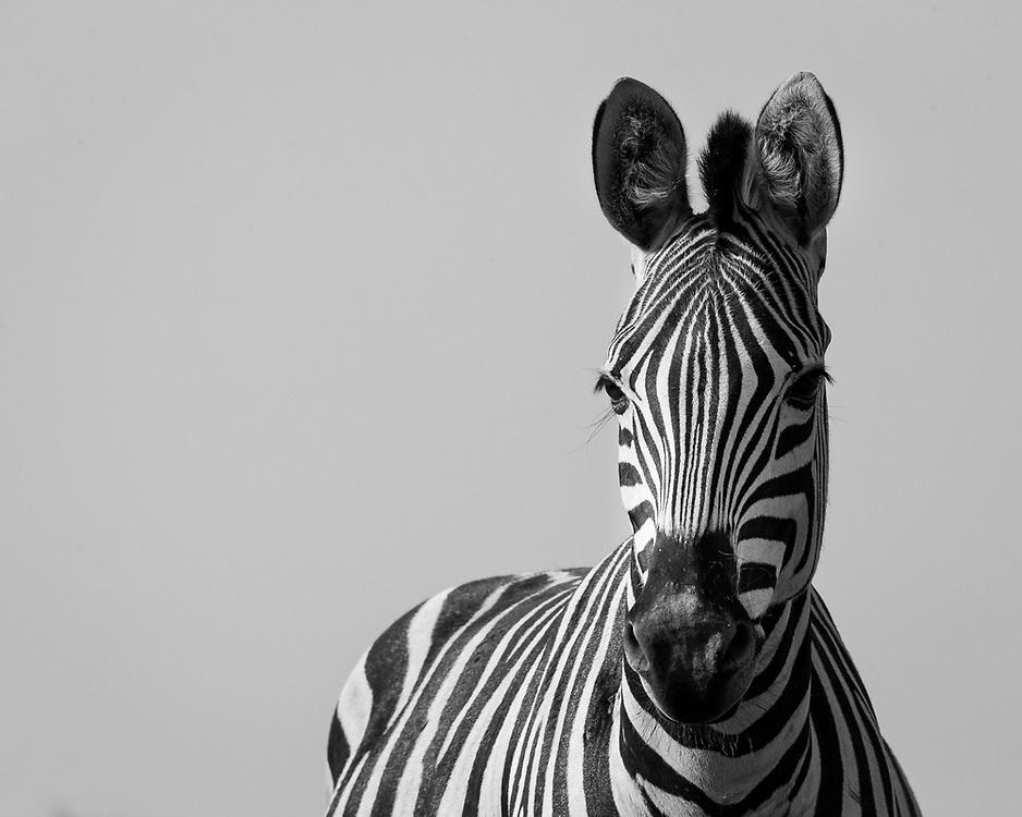 Equus quagga Botswana