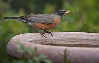 American Robin (Turdus migratorius) male at a birdbath.  Males:  Black head and dark red breast.  Female:  Dark gray head and pale reddish breast.