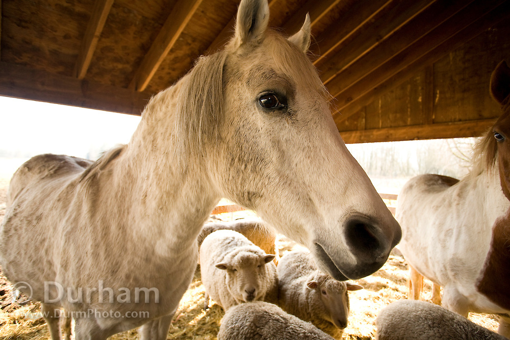 A horse on a small family ranch on Sauvie Island, Oregon. Property released.