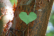 This is a photograph of a Gumbo Limbo tree with a Morning Glory heart shaped leaf growing on it.