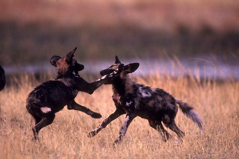 Botswana, Moremi Game Reserve, African Wild Dog pups (Lycaon pictus) playing in dry grass near Khwai River at dusk
