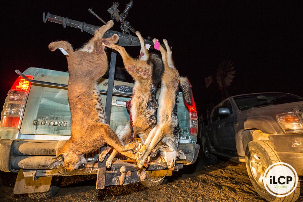 Back on night hunting. Hooked on the 4x4 of a professional hunter, a very large male caracal and jackal two adults were killed. A total of a dozen predators is reported every night for eight days.<br /> Rietbron, Eastern Cape, South Africa / Retour de la chasse nocturne. Accroch&eacute; sur le 4x4 de l'un des chasseurs professionnels, un tr&egrave;s gros m&acirc;le caracal et deux chacals adultes ont &eacute;t&eacute; tu&eacute;s. Au total, une dizaine de pr&eacute;dateurs est rapport&eacute;e chaque nuit pendant 8 jours.<br /> Rietbron, Eastern Cape, Afrique du Sud