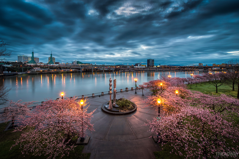 Cherry blossoms in bloom at sunrise on the Portland waterfront.