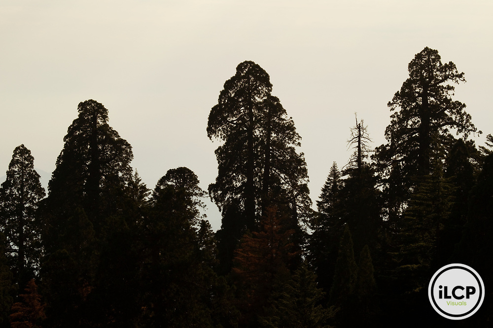 Giant Sequoia (Sequoiadendron giganteum) mature trees, Sierra Nevada, Sequoia National Park, California