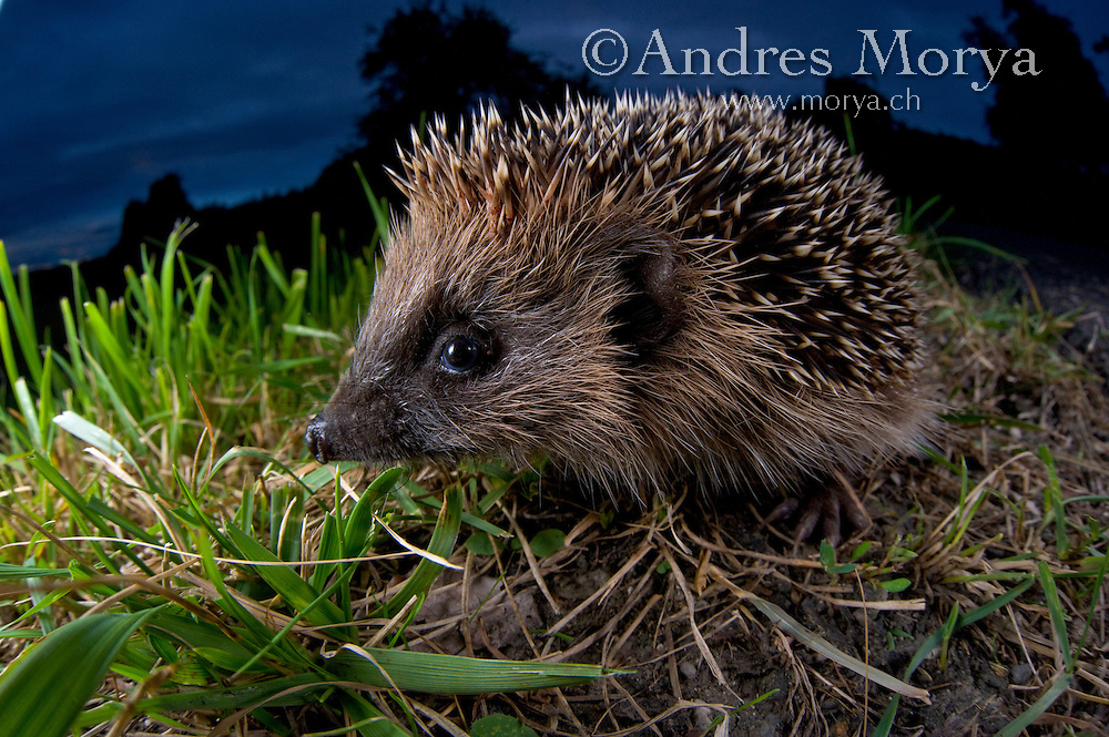 European Hedgehog<br /> (Erinaceus europaeus), Europe Image by Andres Morya