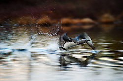 Red-throated Diver (Gavia stellata).