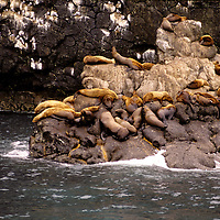 Steller's Sealion - Eumetopias jubata