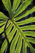 Aroid Philodendron mayoi. with deeply cleft leaves backlit by sunlight in forest gallery in cerrado, Chapada dos Veadeiros, Cavalcante, Goias, Brazil.