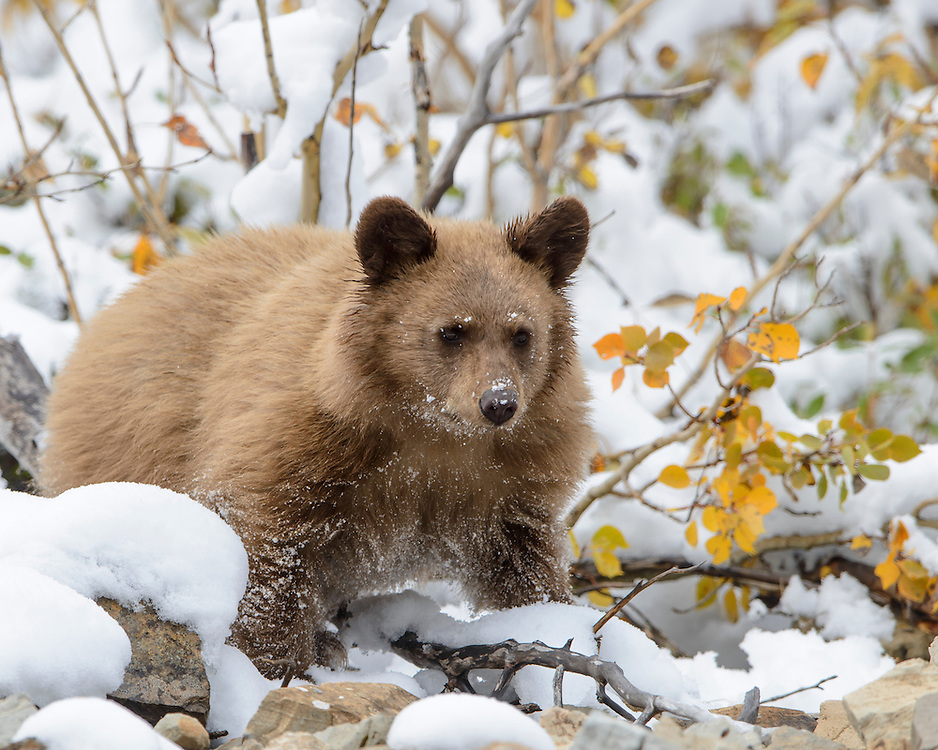 Blonde phase black bear cub in snow, Northern Montana