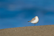 A lone sanderling stands on a smooth beach, framed by a distant ocean