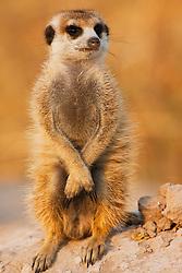 A meerkat (Suricata suricatta) on sentry duty looking out for predators in the early morning, Kalahari Desert, Botswana, Africa