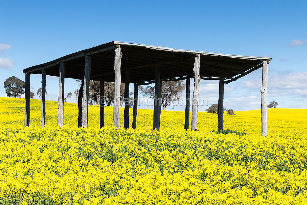 equipment shelter in a field of flowering canola crop under blue sky and cumulus cloud at Woodstock, New South Wales, Australia.