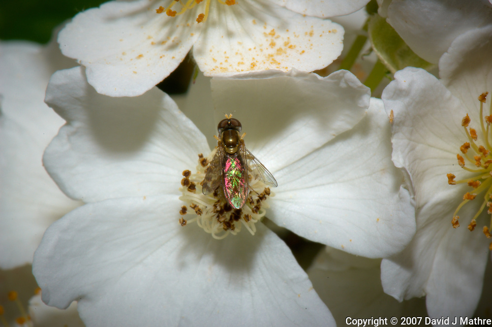Pair of hover flies mating on wild raspberry flowers. Backyard spring nature in New Jersey. Image taken with a Nikon D2xs camera and 105 mm f/2.8 VR macro lens (ISO 100, 105 mm, f/36, 1/60 sec).