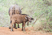 Cape buffalo calf standing on the bank of a waterhole, Mokala National Park, Northern Cape, South Africa