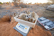 Some meerkat groups are so accustomed to getting weighed, they all jump into the box at once.
