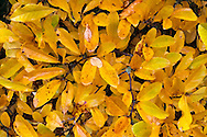 The leaves of a Magnolia stellata change color to orange and yellow in the Fall
