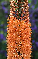 Eremurus x isabellinus 'Cleopatra' - Desert Candle, Foxtail lily