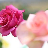 """A """"Hot Princess"""" rose at Thursday's rose show at Renasant Bank."""
