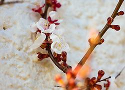 THEMENBILD - die zarten, weißen Blüten am feinen Zweig eines Marillenbaum, aufgenommen am 10. April 2018, Kaprun, Österreich // the delicate, white flowers on the fine branch of a apricot tree on 2018/04/10, Kaprun, Austria. EXPA Pictures © 2018, PhotoCredit: EXPA/ Stefanie Oberhauser