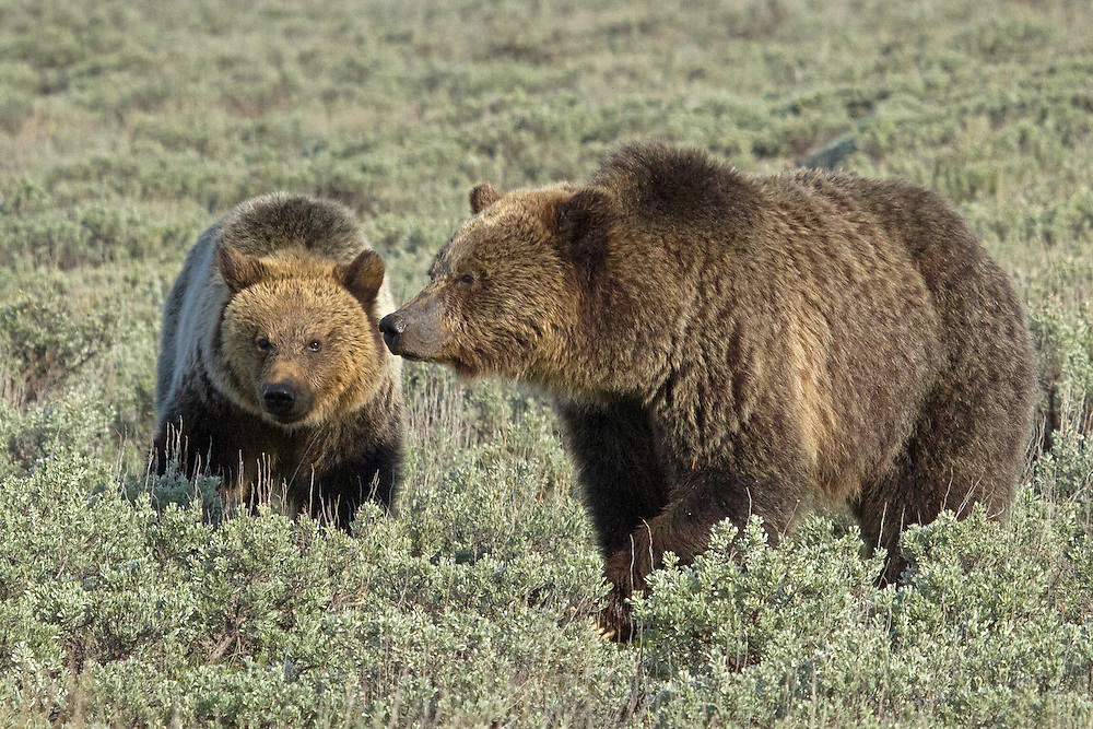"""The grizzly sow known as """"Quad Mom"""" and one of her two-year-old cubs, forage along Swan Flats in Yellowstone. This is the last spring that the cubs will remain with their mother as she will soon have the desire to mate again and will chase them off to live on their own."""