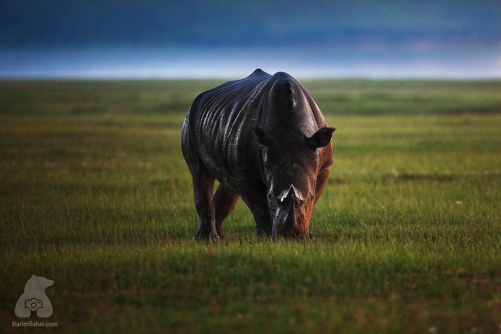 A black rhinoceros grazing on the shore of Lake Nakuru, Kenya.