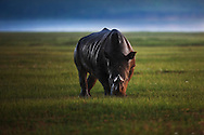 A black rhinoceros grazing on the shore of Lake Nakuru, Kenya.