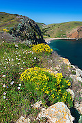 Wildflowers above Scorpion Cove, Santa Cruz Island, Channel Islands National Park, California USA
