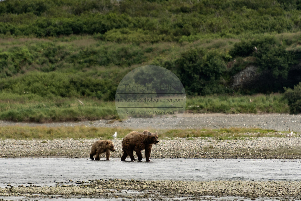 A grizzly bear sow walks with her yearling cub along the lower lagoon at the McNeil River State Game Sanctuary on the Kenai Peninsula, Alaska. The remote site is accessed only with a special permit and is the world's largest seasonal population of brown bears.