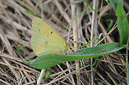 Yellow butterfly on blade of grass in Corning, NY.