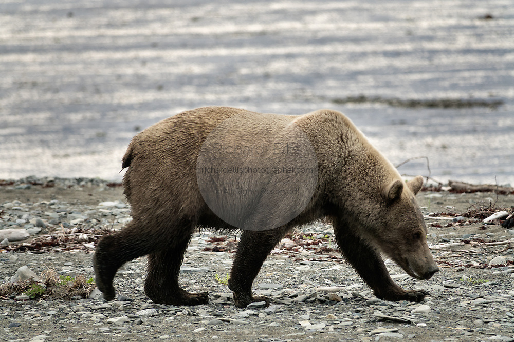 A brown bear adult boar walks along the beach at the McNeil River State Game Sanctuary on the Kenai Peninsula, Alaska. The remote site is accessed only with a special permit and is the world's largest seasonal population of brown bears in their natural environment.