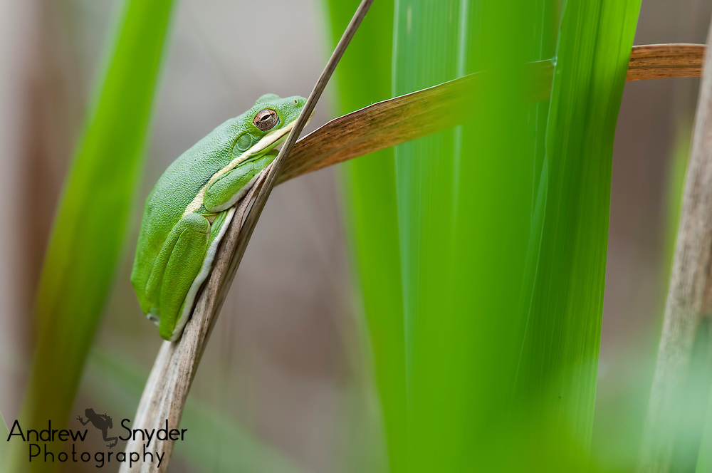 A green tree frog (Hyla cinerea) rests during the day on grasses above a swamp - Water Valley, Mississippi,