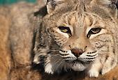 Wildlife: Lynx