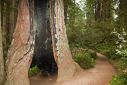 A redwood tree is hollowed out at its base along a hiking trail, Redwood National Park, California, USA.
