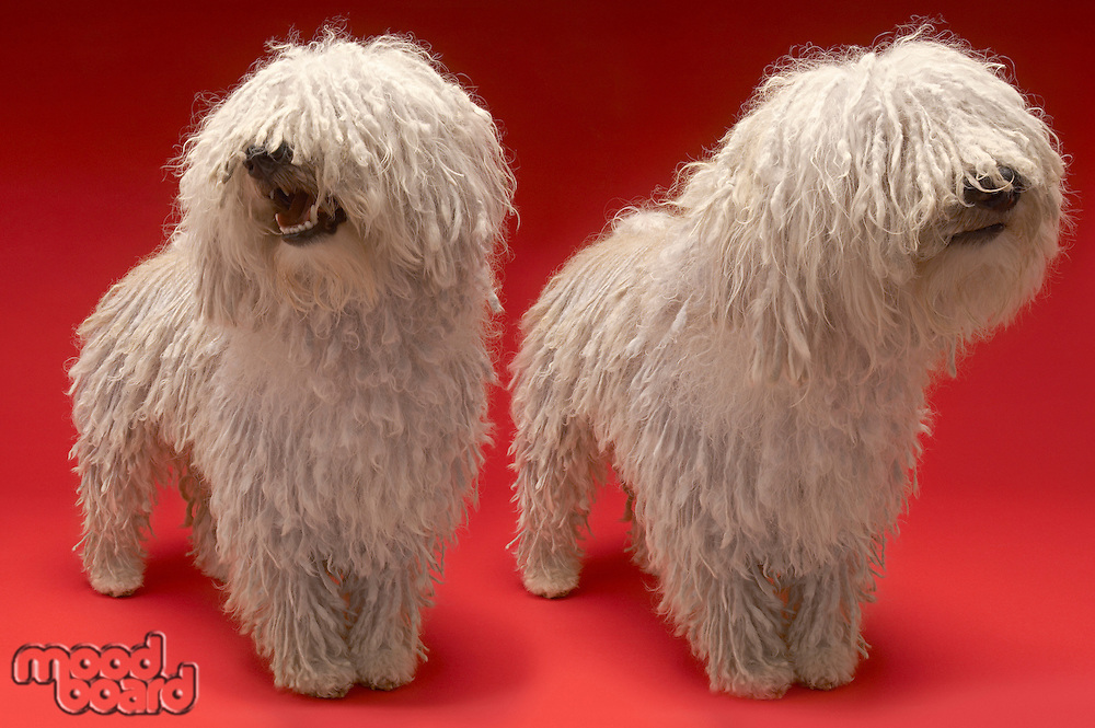 Two Komondor Dogs on red background