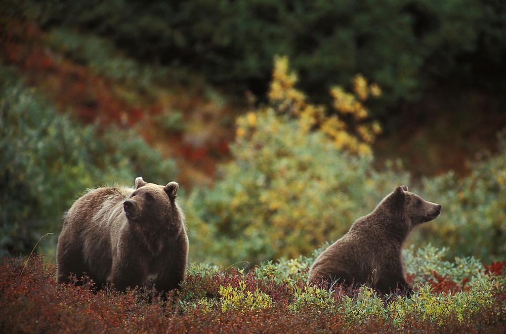 Grizzly Bear, Ursus Arctos, Denali National Park and Preserve, Alaska, USA