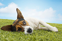 Jack Russell terrier lying on side looking up front view
