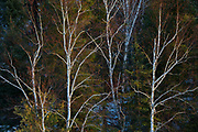 Birch trees and evergreens on shore of the Seine River at sunrise<br />Near Mine Centre<br />Ontario<br />Canada