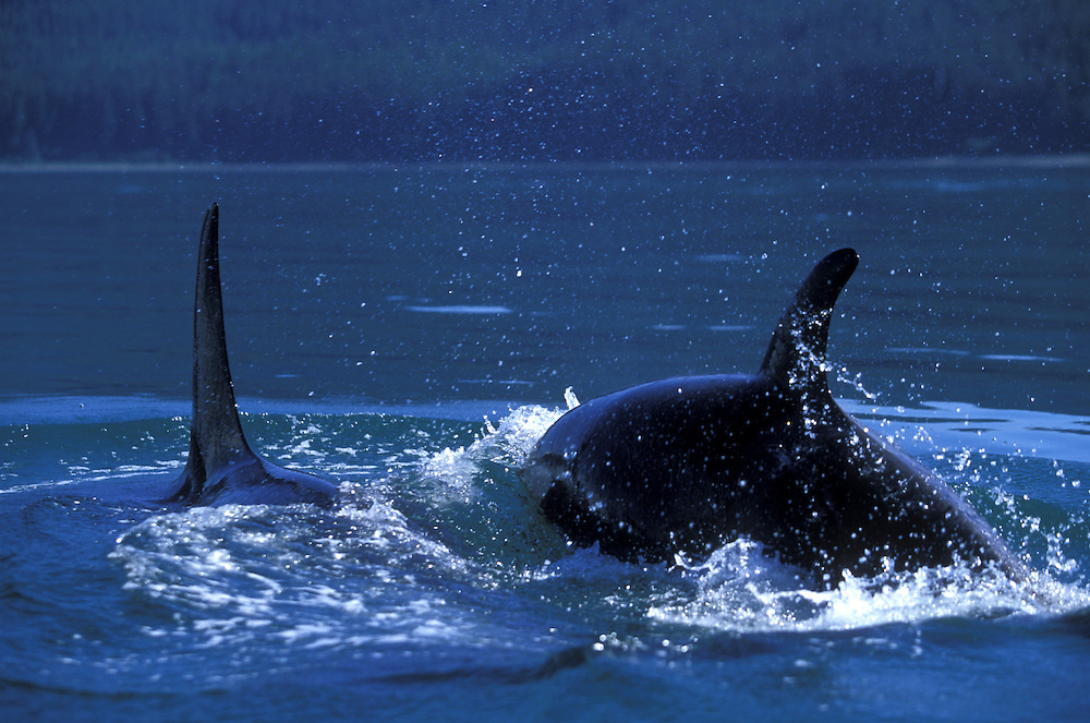 USA, Alaska, Tongass National Park, pod of Orca Whales (Orcinus orca) swim through Icy Strait near Chichagof Island