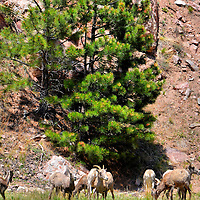 Bighorn Sheep Grazing in Rocky Mountain National Park near Estes Park, Colorado<br /> The best way to sample the 415 square miles and 60 mountains of Rocky Mountain National Park in Colorado is by driving along the Trail Ridge Road (Highway 34). If you are adventurous, consider walking some of the 350 miles of trails. The lowlands are covered by lush grasslands and forests until they reach the tree line at 11,500 feet. The tallest mountain is Longs Peak at 14,259 feet. Along the way, you might see a herd of grazing bighorn sheep.