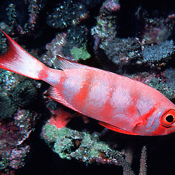 Aweoweo in Hawaii.   It has many color patterns, from all red to all silver, & varieties in between.  It is usually all red. Ocean Life is Al Harty's underwater photo series of sea life located mostly at Kwajalein Atoll, Marshall Islands.
